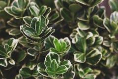 Het schot van het fortuneiclose-up van Wintercreepereuonymus Aardachtergrond met groene en witte bladeren royalty-vrije stock foto