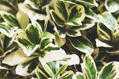 Het schot van het fortuneiclose-up van Wintercreepereuonymus Aardachtergrond met groene en witte bladeren royalty-vrije stock foto's