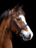 Het Schot van het Hoofd van het Paard van de baai Stock Afbeelding
