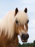 Het Schot van het Hoofd van het Paard van Haflinger Stock Afbeelding