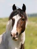 Het Schot van het paardhoofd Royalty-vrije Stock Foto's