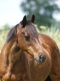 Het Schot van het paardhoofd Stock Foto's