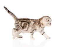 Het Schotse katje lopen Geïsoleerdj op witte achtergrond Stock Foto's