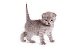 Het Schotse Katje van Vouwen Stock Fotografie