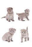 Het Schotse Katje van Vouwen Stock Afbeeldingen