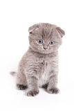Het Schotse Katje van Vouwen Stock Afbeelding