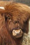 Het Schotse kind van de Hooglander Royalty-vrije Stock Afbeelding