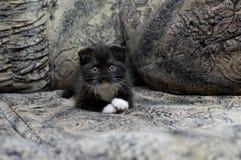 Het Schotse vouwenkatje rust op de bank Stock Afbeeldingen