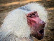 Het schreeuwen aap Stock Afbeelding