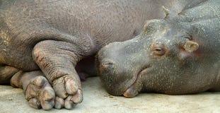 Het schreeuwen hippo Stock Foto