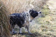 Het schudden van de hond royalty-vrije stock foto