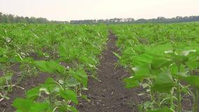 Het schuifschot van jonge sojaboon plant het groeien op gecultiveerd gebied, de landbouwrijen van het sojagebied in zonsondergang stock videobeelden