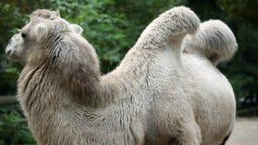 Het schuwe dierlijke kameel stellen aan de camera in gevangenschap in dierentuin stock video