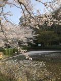 Het seizoen van de kersenbloesem, een symbool van Japanse cultuur stock foto