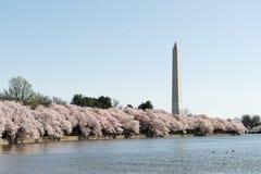 Het seizoen van de kersenbloesem van Washington DC royalty-vrije stock foto's