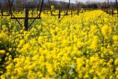 Het seizoen van de mosterd in Vallei Napa Royalty-vrije Stock Fotografie