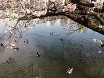 Het seizoen van Sakura Royalty-vrije Stock Afbeeldingen