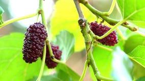 Het selectieve fruit die van nadruk rijpe moerbeibomen in de wind slingeren stock footage