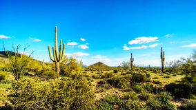 Het semi woestijnlandschap van Usery-het Park van Bergreginal met vele Cactussen van Saguaru, van Cholla en van het Vat stock fotografie
