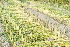 Het sesamgebied met sesampeulen en zaden in Xigang, Tainan, Taiwan, sluit omhoog, macro, bokeh stock foto