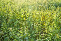 Het sesamgebied met sesampeulen en zaden in Xigang, Tainan, Taiwan, sluit omhoog, macro, bokeh stock afbeelding