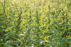 Het sesamgebied met sesampeulen en zaden in Xigang, Tainan, Taiwan, sluit omhoog, macro, bokeh stock foto's