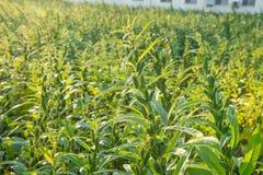 Het sesamgebied met sesampeulen en zaden in Xigang, Tainan, Taiwan, sluit omhoog, macro, bokeh royalty-vrije stock afbeelding