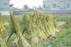 Het sesamgebied met sesampeulen en zaden in Xigang, Tainan, Taiwan, sluit omhoog, macro, bokeh royalty-vrije stock afbeeldingen