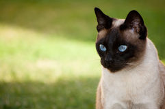 Het Siamese kat kijken Royalty-vrije Stock Foto's