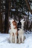 Het Siberische gehuil van huskieshonden bij de de winter bos Schor honden hief omhoog de snuit op en huilend in donker bos stock afbeelding