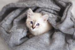 Siberisch katje stock foto's