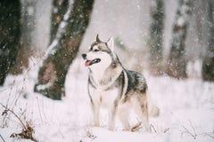 Het Siberische Sneeuwgebied van Husky Dog Walking Outdoor In bij de Winterdag royalty-vrije stock afbeelding
