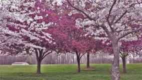 Het sierkers en Crabapple-Bomen Bloeien stock afbeeldingen