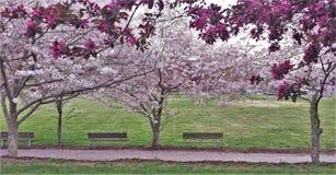 Het sierkers en Crabapple-Bomen Bloeien royalty-vrije stock foto