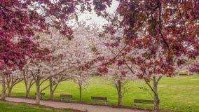 Het sierkers en Crabapple-Bomen Bloeien royalty-vrije stock foto's