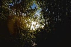 Het silhouet Lichte straal van bamboeforest plant brazil leaf Stock Foto's