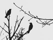 Het silhouet van de boom vertakt zich op de achtergrond van twee vogels zittend op een pijnboomboom Stock Fotografie