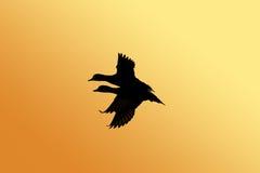 Het silhouet van de eend Royalty-vrije Stock Foto