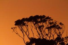 Het Silhouet van de eucalyptusboom Royalty-vrije Stock Afbeeldingen
