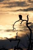 Het silhouet van de gier royalty-vrije stock afbeeldingen