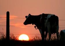 Het silhouet van de koe Stock Foto
