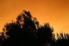 Het Silhouet van de olijfboom bij Zonsondergang Stock Foto