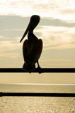 Het silhouet van de pelikaan Stock Afbeelding