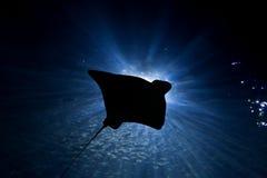 Het Silhouet van de pijlstaartrog Royalty-vrije Stock Foto