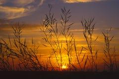 Het silhouet van de raapzaadzonsondergang (Brassica napus) Stock Foto