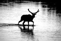 Het silhouet van elanden Stock Foto's