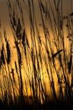 Het silhouet van het gras Stock Fotografie