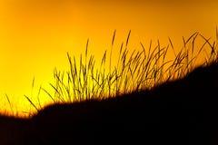 Het silhouet van het gras bij zonsopgang Stock Foto
