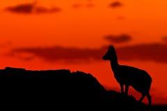Het Silhouet van Klipspringer Royalty-vrije Stock Foto