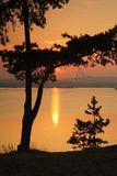 Het silhouet van pijnbomen Stock Foto's
